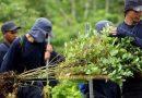 Ordenan suspender erradicación de cultivos ilícitos en Nariño