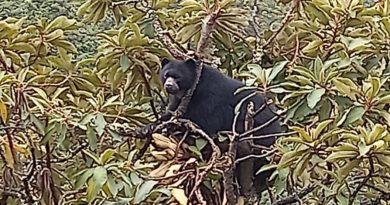 En Buesaco observan oso Andino. Piden no cazarlos